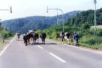 さすが北海道!道路を牛が横断中