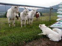羊に興味あり