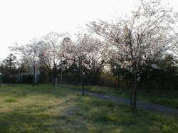 桜もちらほら