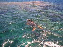 珊瑚を傷つけないようにスタッフが素潜りでアンカーを降ろします