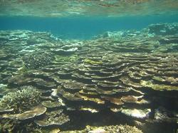見事なテーブル珊瑚