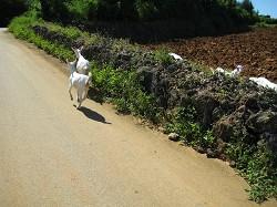 来間島では山羊が道を走ってた!